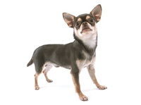 Chihuahua_1